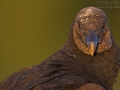 Rabengeier, American Black Vulture, Black Vulture, Coragyps atratus