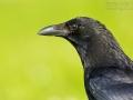 Rabenkrähe, Carrion Crow, Corvus corone corone