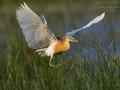Squacco Heron, Ardeola ralloides, Crabier chevelu, Héron crabier, Garcilla Cangrejera