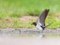 Rauchschwalbe, Barn Swallow, Hirundo rustica
