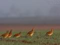 Rebhuhn, Grey Partridge, Gray Partridge, Perdix perdix, Perdrix grise, Perdiz Pardilla