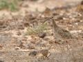 Regenbrachvogel, Whimbrel, Numenius phaeopus, Courlis corlieu, Zarapito Trinador