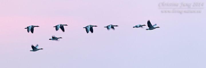 Graugans / Greylag Goose / Anser anser