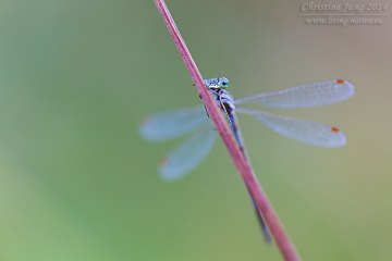 Kleine Binsenjungfer / Small Emerald Damselfly / Lestes virens