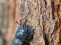 Balkenschröter / Lesser Stag Beetle / Dorcus parallelipipedus
