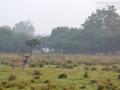 Damhirsche und Schafe teilen sich den Lebensraum