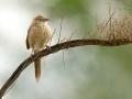 Rieddrossling, Iraq Babbler, Turdoides altirostris, Cratérope d'Irak, Tordalino Iraquí
