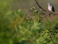 Ringeltaube, Wood pigeon, Columba palumbus,
