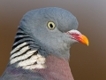 Ringeltaube, Wood pigeon, Woodpigeon, Common Wood Pigeon, Columba palumbus, Pigeon ramier, Paloma Torcaz