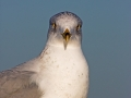 Ringschnabelmöwe, Ring-billed Gull, Larus delawarensis, Goéland à bec cerclé, Gaviota de Delaware
