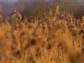Rohrammer, Reed Bunting, Emberiza schoeniclus