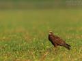 Rohrweihe, Marsh Harrier, Eurasian Marsh Harrier, Western Marsh Harrier, Circus aeruginosus, Busard des roseaux, Aguilucho Lagunero Occidental
