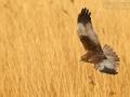Rohrweihe, Western Marsh Harrier, Marsh Harrier, Eurasian Marsh Harrier, Western Marsh-Harrier, Circus aeruginosus, Busard des roseaux, Aguilucho Lagunero Occidental