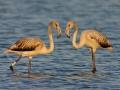 Rosaflamingo, Greater Flamingo, Phoenicopterus ruber, Phoenicopterus roseus, Flamant rose, Flamenco Común