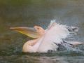 Rosapelikan, White Pelican, Eastern White Pelican, Great White Pelican, Pelecanus onocrotalus, Pélican blanc, Pelícano Común