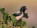 Rosenstar, Rose-coloured Starling, Rosy Starling, Sturnus roseus, Étourneau roselin, Martin roselin, Estornino Rosado