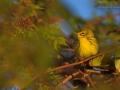 Rostscheitel-Waldsänger, Prairie Warbler, Dendroica discolor
