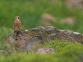 Rötelfalke, Lesser Kestrel, Falco naumanni, Faucon crécerellette, Cernícalo Primilla