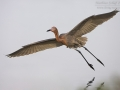 Rötelreiher, Reddish Egret, Egretta rufescens