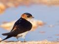 Rötelschwalbe, Red-rumped Swallow, Hirundo daurica, Hirondelle rousseline, Golondrina Dáurica