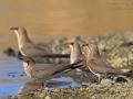 Rotflügelbrachschwalbe, Collared Pratincole, Glareola pratincola, Glaréole à collier, Canastera Común