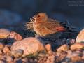 Rotflügelgimpel, Crimson-winged Finch, hodopechys sanguinea, Roselin à ailes roses, Camachuelo Rosado