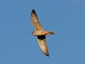 Rotfußfalke, Red-footed Falcon, Western Red-footed Falcon, Falco vespertinus, Faucon kobez, Cernícalo Patirrojov