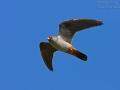 Rotfußfalke, Red-footed Falcon, Western Red-footed Falcon, Falco vespertinus, Faucon kobez, Cernícalo Patirrojo
