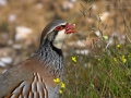 Rothuhn, Red-legged Partridge, Alectoris rufa, Perdrix rouge, Perdiz Roja