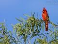 Rotkardinal, Common Cardinal, Northern Cardinal, Cardinalis cardinalis