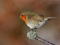 Rotkehlchen, European Robin, Erithacus rubecula