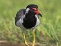 Rotlappenkiebitz, Red-wattled Plover, Red-wattled Lapwing, Hoplopterus indicus, Vanellus indicus, Vanneau indien, Avefría India