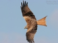 Rotmilan, Red Kite, Milvus milvus, Milan royal, Milano Real