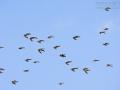 Rotschenkel, Common Redshank, Redshank, Tringa totanus, Chevalier gambette, Archibebe Común
