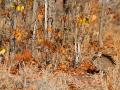 Rotschopftrappe, Red-crested Bustard, Eupodotis ruficrista