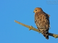 Rotschulterbussard, Red-shouldered Hawk, Buteo lineatus