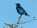 Rotschulter-Glanzstar, Red-shouldered Glossy Starling, Red-shouldered Glossy-Starling, Lamprotornis nitens
