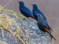 Rotschwingenstar, African Red-winged Starling, Red-winged Starling, Onychognathus morio