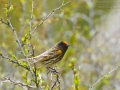 Rotstirngirlitz, Red-fronted Serin, Fire-fronted Serin, Serinus pusillus, Serin à front rouge, Verdecillo Frontigualdo