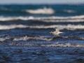 Rüppellseeschwalbe, Lesser Crested Tern, Lesser Crested-Tern, Sterna bengalensis, Thalasseus bengalensis, Sterne voyageuse, Charrán Bengalí
