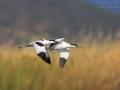 Säbelschnäbler, Pied Avocet, Avocet, Recurvirostra avosetta, Avocette élégante, Avocette, Avoceta Común