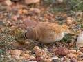 Saharaohrenlerche, Temminck's Horned Lark, Temminck's Lark, Eremophila bilopha, Alouette bilophe, Alondra Cornuda de Temminck, Alondra Cariblanca