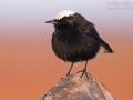 Saharasteinschmätzer, White-crowned Black Wheatear, White-tailed Wheatear, Oenanthe leucopyga, Traquet à tête blanche, Collalba Negra de Brehm