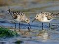 Sanderling, Sanderling, Calidris alba, Bécasseau sanderling, Correlimos Tridáctilov
