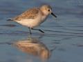 Sanderling, Sanderling, Calidris alba, Bécasseau sanderling, Correlimos Tridáctilo