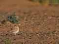 Sandlerche, Bar-tailed Desert Lark, Bar-tailed Lark, Ammomanes cincturus, Ammomane élégante, Terrera Colinegra