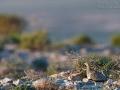 Sandflughuhn, Black-bellied Sandgrouse, Pterocles orientalis, Ganga unibande, Ortega