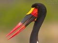 Sattelstorch, Saddle-bill Stork, Saddle-billed Stork, Ephippiorhynchus senegalensis