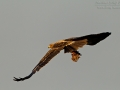Savannenadler, Tawny Eagle, Aquila rapax, Aigle ravisseur, Águila Rapaz