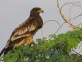 Schelladler, Greater Spotted Eagle, Spotted Eagle, Aquila clanga, Aigle criard, Águila Moteada